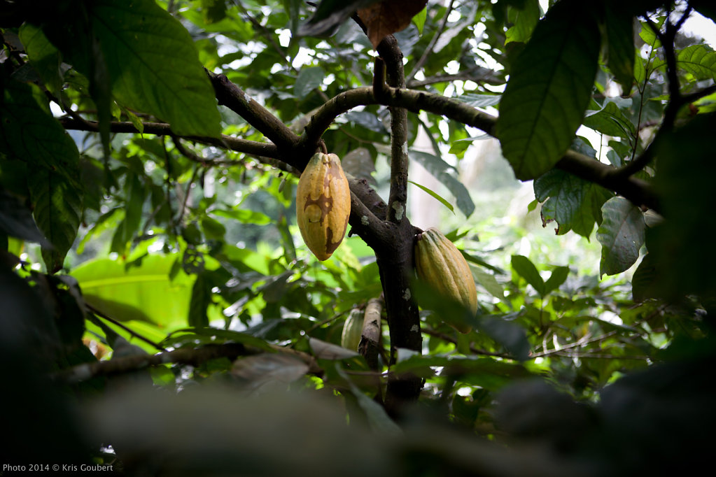 Cacao from Cameroon